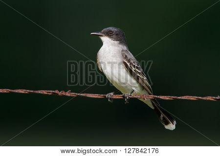 Eastern Kingbird on barbwire against a dark green background.