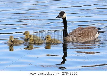 A mother goose with her four goslings swimming on a pond.