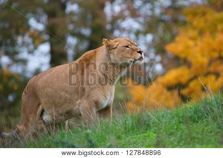 Lioness in a clearing in the wild
