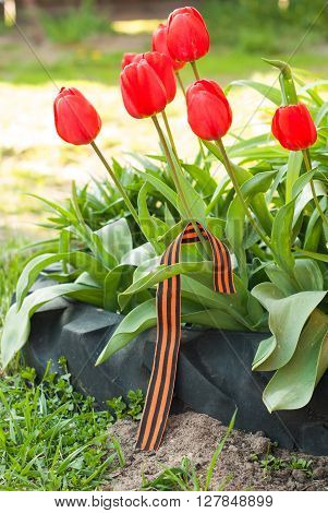 May 9: St. George ribbon on the flower bed of red tulips