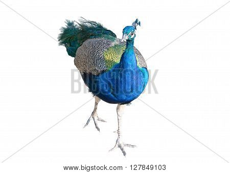 the Beautiful Peacock Isolated On White Background
