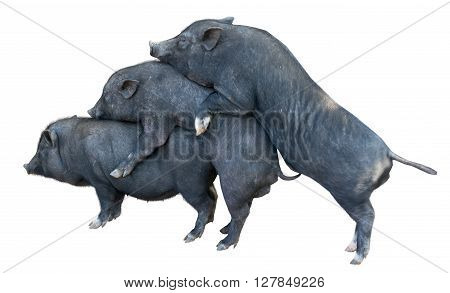 vietnamese potbellied pigs in front of a white background