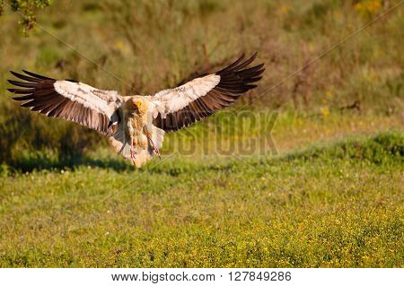 Egyptian Vulture Landing With Outstretched Wings.