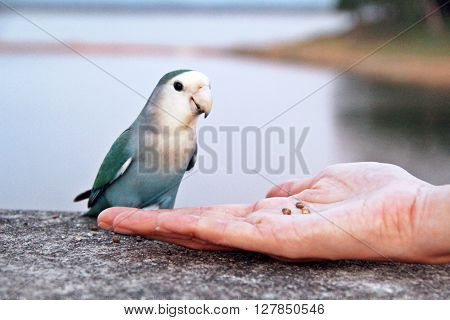 Feeding seed to small green blue parrot by human's hand.