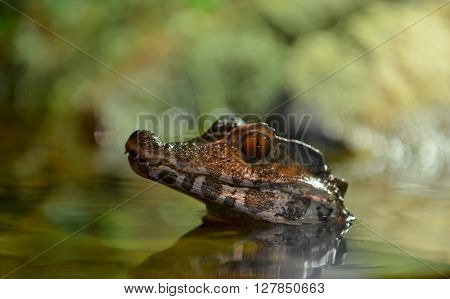 Crocodile's head under water surface. Background is blur.