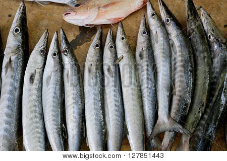 marine fish after the fishing and caught at nightfresh barracudas fish.