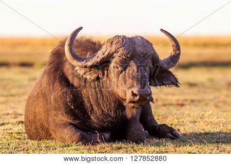 Wild African Cape Buffalo