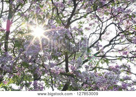 radius of the sun on Lagerstroemia speciosa or tabak tree in ThailandPerennial plant bloom one time per year.