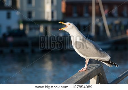 Gull squawking by Weymouth harbour side in the early morning.