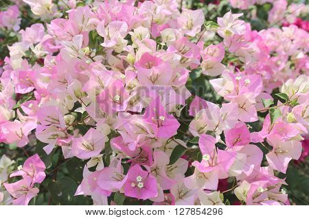 Pink Bougainvillea blooming on tree in the flower garden.