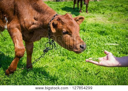 domestic brown cow calf trying to eat grass from man`s hand on the meadow at farm
