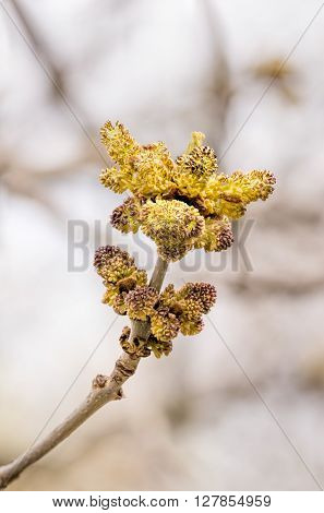 Yellow Fraxinus Flowers