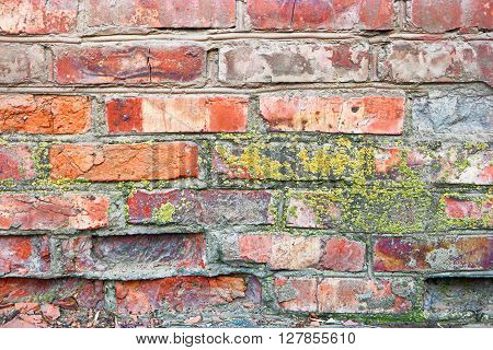 Lichen on a brick wall. Ancient red brick wall with moss as a background. Texture of old wall covered with dry moss. Close-up texture of old brick walls covered with spot of yellow-green moss