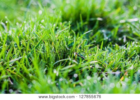 grass background green  nature spring lawn summer growth morning lawn freshness field dew garden flora