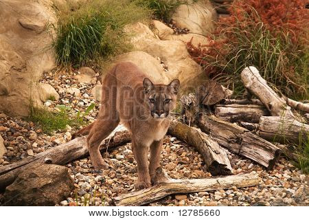 Mountain Lion, Cougar Or Puma
