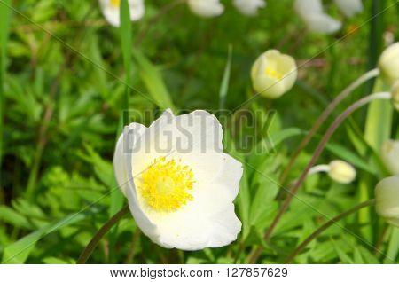 Anemones in a flowerbed in spring, anemones bloom in the garden