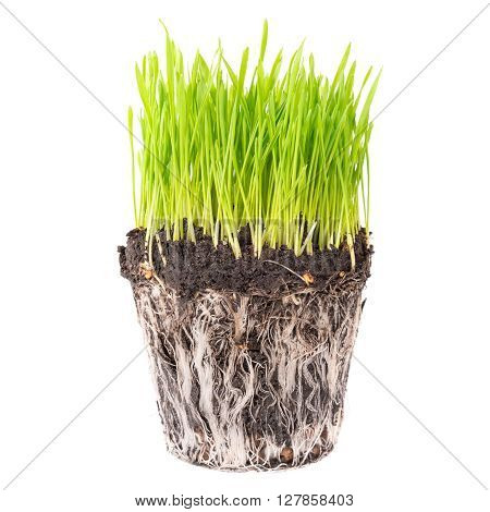 Green Grass With Roots