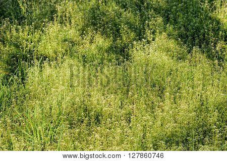 Capsella Bursa-pastoris Flowers