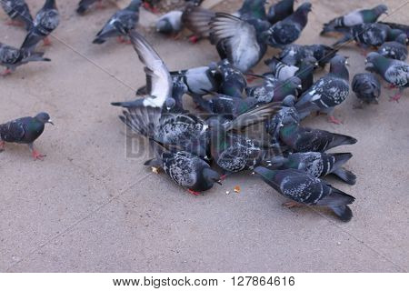 Lots of gray pigeons eat crumbs on pavement in town at summer