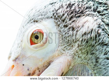 close up Pele Canidae eye isolate concept