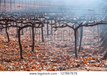 Autumn Vineyard. Mendoza In Late Autumn, When Grapes Harvested