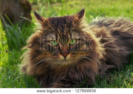fluffy brown siberian pedigree cat with green eyes lying in the garden