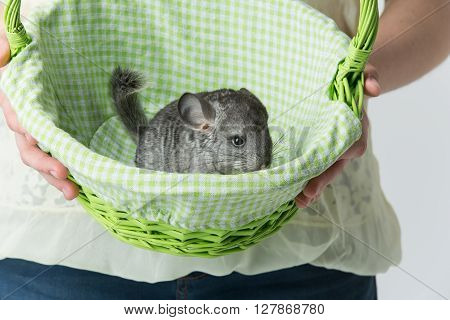 Girl holding green basket with cute adult chinchilla sitting inside