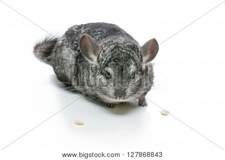 Cute adult chinchilla with two nuts isolated over white background. Copy space.