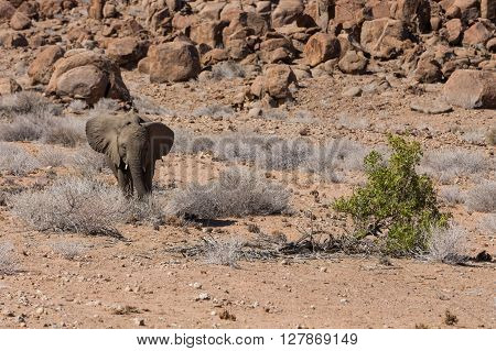 Baby desert elephant (Loxodonta africana) approaching green branch for eating lunch in the dusty and sandy Namibia.