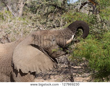 Grown desert elephant (Loxodonta africana) eating from branch in Namibia.