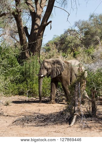 Grown desert elephant (Loxodonta africana) walking around among trees in the dry Namibia