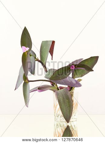 flowering shoots burgundy spiderwort in a glass on a mirror surface