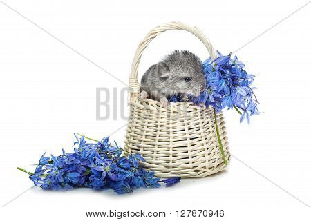 Chinchilla baby sitting in basket with blue flowers isolated over white background. Copy space.