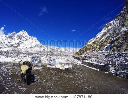 Lovely baby yak bull in nepalese village, Himalayas mountain summer landscape with farm village animal and solar heaters for water, Gokyo, Sagarnatha National Park, Nepal
