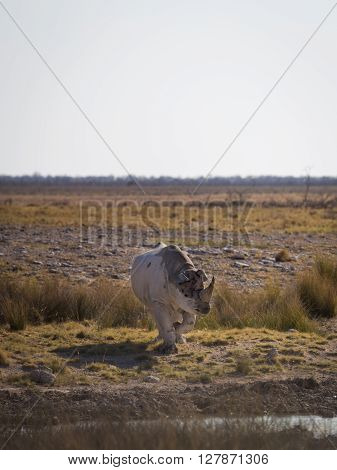 A southern white rhinoceros (Ceratotherium simum simum) standing at a waterhole with a flock of ostriches in the distance. Etosha national park Namibia Africa.
