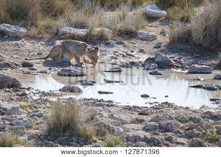 Young lion drinking at waterhole in the Etosha national park of Namibia Africa.