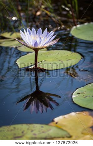 Lone waterlily in the Okavango delta. Reflection of the waterlily in the water.