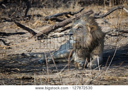Young Southwest African male lion easing in the morning light. Etosha National Park Namibia Africa.