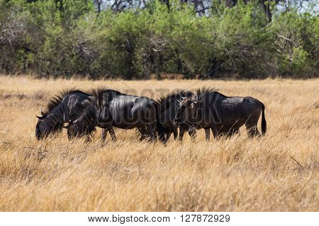 Blue Wilderbeest in the Okavango Delta. Gracing the in open fields. Botswana Africa.