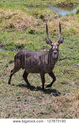 Male waterbuck (Kobus ellipsiprymnus) walking around in the Okavango delta of Botswana Africa.