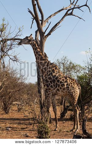 Angolan giraffe eating leafs from a high branch. African tickbirds sitting on its back. Okavango Delta of Botswana Africa.