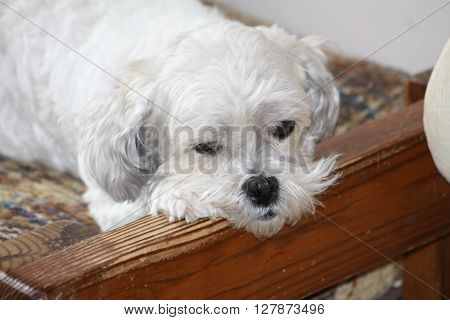 Long haired white dog lying on a raised settee