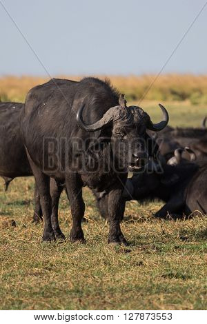 Bird (African Tickbird) sitting on african cape buffalos head. Okavango Delta Botswana Africa.