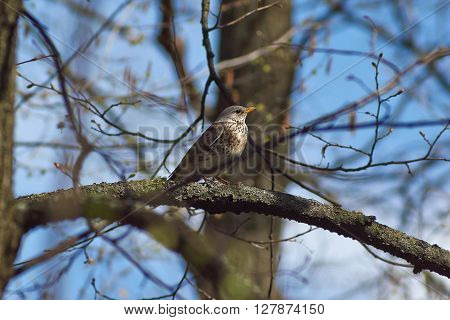 Song Thrush on a branch of a tree in the forest.