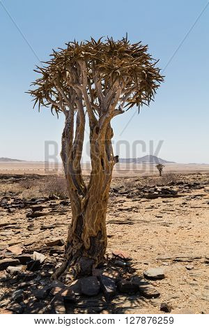 Isolated Quiver tree Aloe Dichotoma with montain in the background. Namibia. Africa.