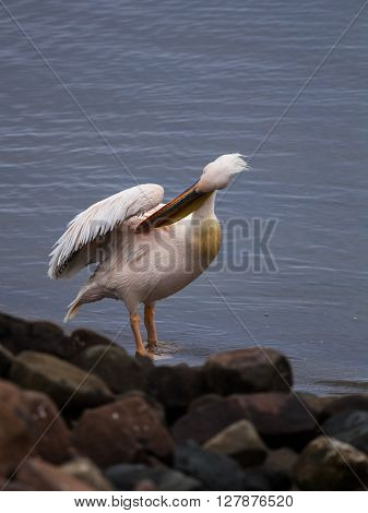 African pelican cleaning its feathers at the shores of Walvis Bay Namibia.
