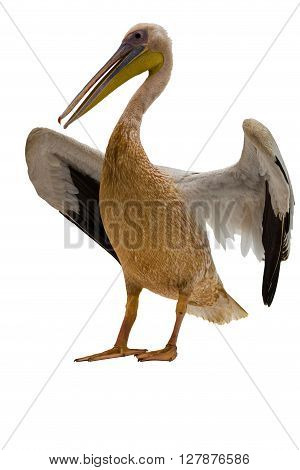 African pelican on white background, cut out