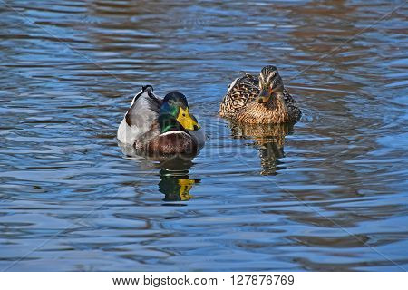 Two Mallard Ducks In Blue Wavy Water