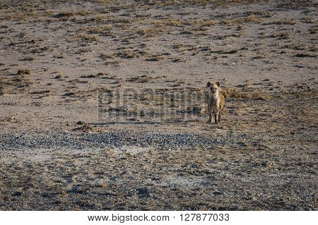 Baby hyena standing alone on the open planes of Etosha national park Namibia.
