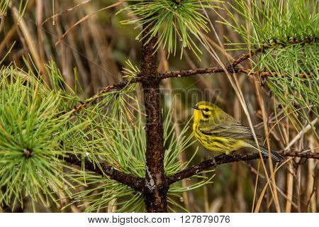 A Prairie Warbler foraging in a pine tree.